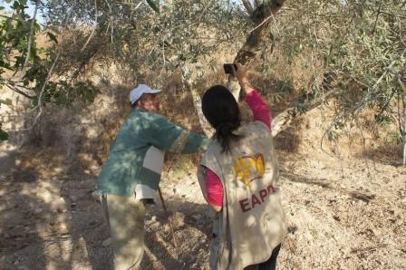 Palestiniern Abu Hosni tittar på ett vandaliserat olivträd tillsammans med en följeslagare.