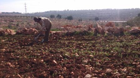 Bonden Saleh brukar sin mark utanför byn Azzun