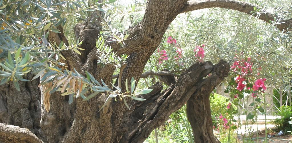 Olivträd i Getsemane örtagård.