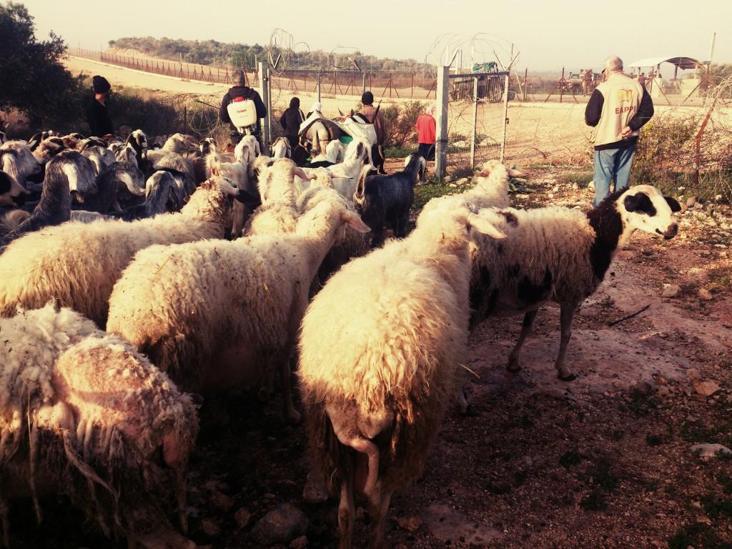 Herdar, får gare väntar vid en jordbruksgrind.