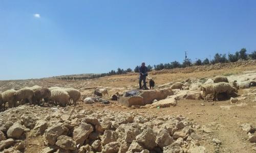 Palestinska herdar från den palestinska byn Susiya som vattnar sina får och getter.