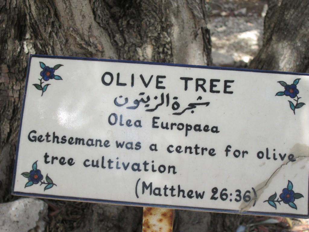 Olivträdet är viktigt i det heliga landet. Bilden är tagen vid ett av de gamla träden i trädgården vid S:t George's Cathedral i Jerusalem.