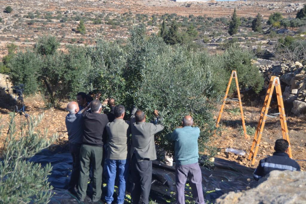 Palestinska jordbrukare som gemensamt plockar oliver.