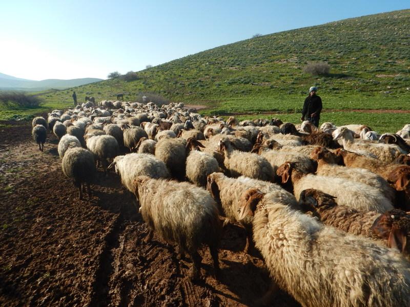 Palestinska boskapsskötande samhällen vallar ännu sina får i Jordandalen. Men närmare 90 procent av området är i princip stängt för palestinier då det faller inom område C, kontrollerat av Israel.