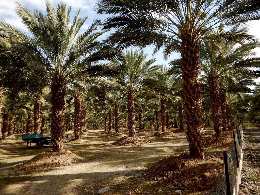 Palmodling i bosättning.