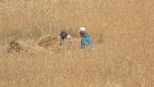 Byborna Yahia och Eman Nawajah tar en paus i arbetet på åkern.