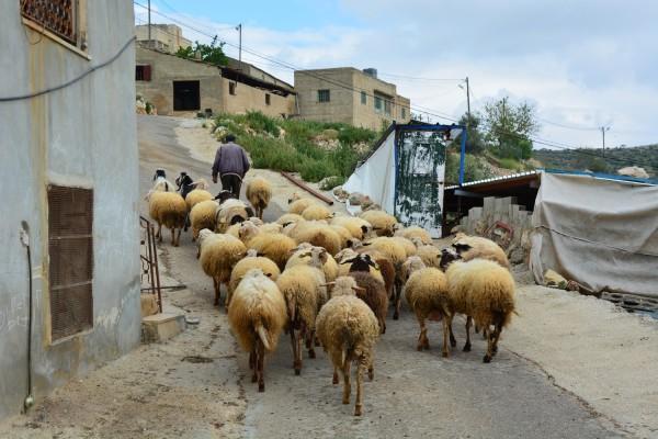 Fåraherde i Yanoun, strax nedanför huset där vi följeslagare bodde.