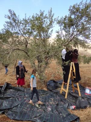 Gammal och ung förenas under olivskörden i byn Duma. Foto: Johanna Persdotter.