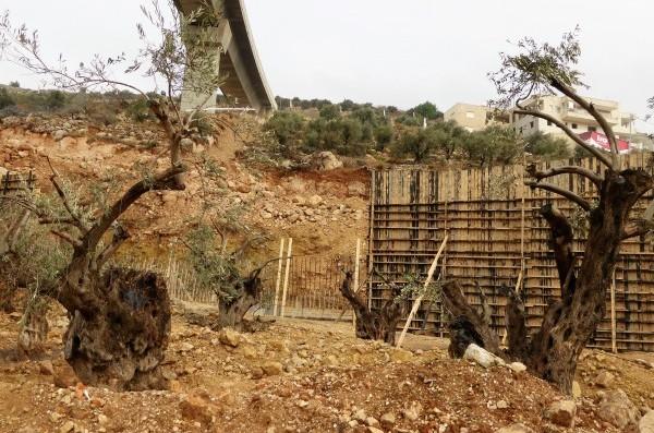 Förstörda olivträd och uppriven konfiskerad mark i Bir Onah. Foto: Johanna Persdotter
