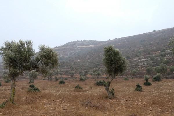 Olivträden i byn Yanoun kan bara nås under speciella dagar under olivskörden koordinerade med den israeliska militären. Här syns träd som återigen börjat växa efter att ha utsatts för förstörelse. Foto: Erik Svanberg.