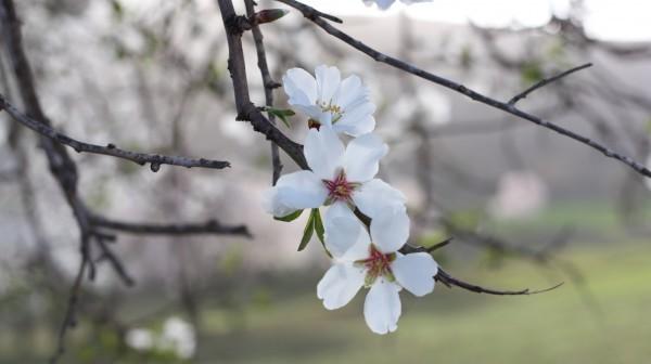 De sista av mandelträdens blommor intill den by där sorgestunden för de två 17-åringarna hölls. Foto: Josefin Hjärpe Lämås