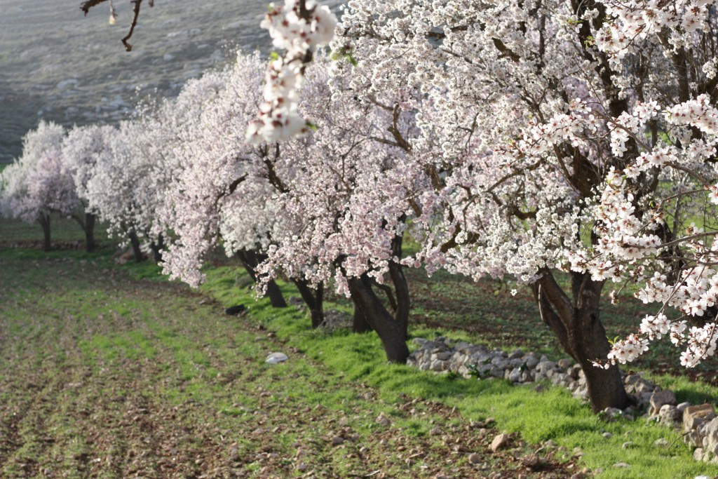 Mandelträden blommar i Yanoun. Foto: Josefin H Lämås