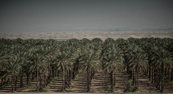 Dadelträdens skönhet bedrar, majoriteten av de milslånga odlingarna i Jordandalen är illegala israeliska bosättningar. Foto: G. Soares.
