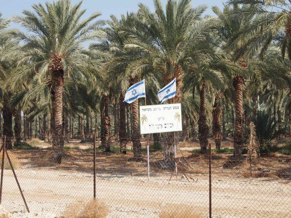 Israelisk bosättning i Jordandalen med stora palmträd. Foto: Elisabeth, följeslagare från Frankrike.