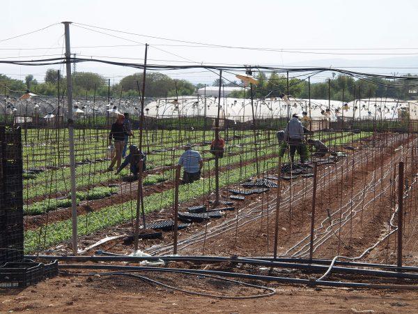Palestinska arbetare i israelisk bosättning Foto: Elisabeth, följeslagare från Frankrike